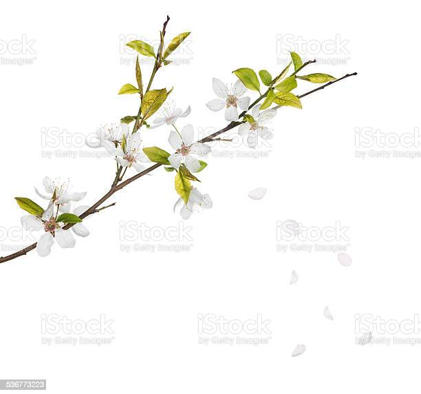 Cherry tree flowers and falling petals isolated on white picture id536773223?b=1&k=6&m=536773223&s=612x612&h=ncmpbn5pmmkugdc2ouu8plw2kv1r2hvmgdocgsbv3pm=