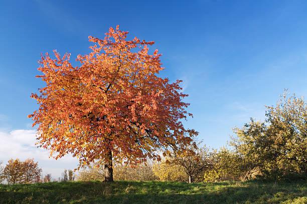 cherry tree in autumn stock photo