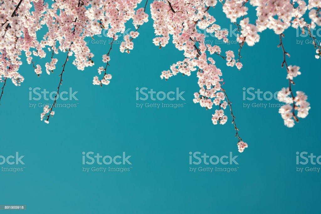 Cerisier en fleur - Photo