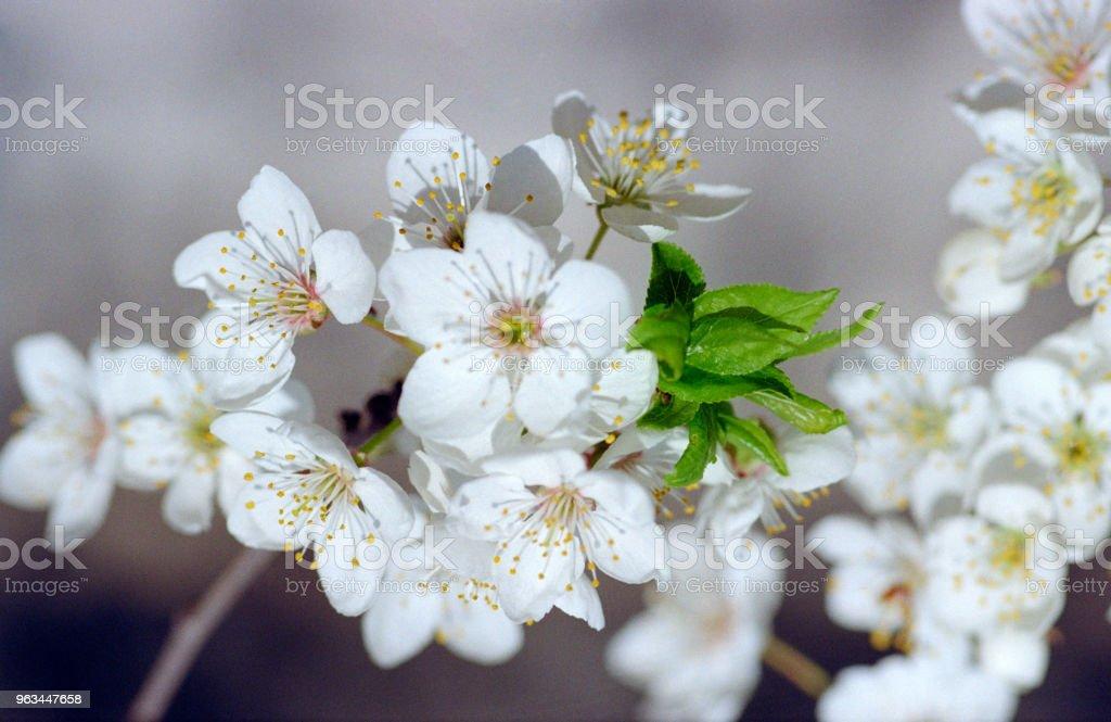Cerisier en fleurs. Tourné sur pellicule - Photo de Arbre libre de droits