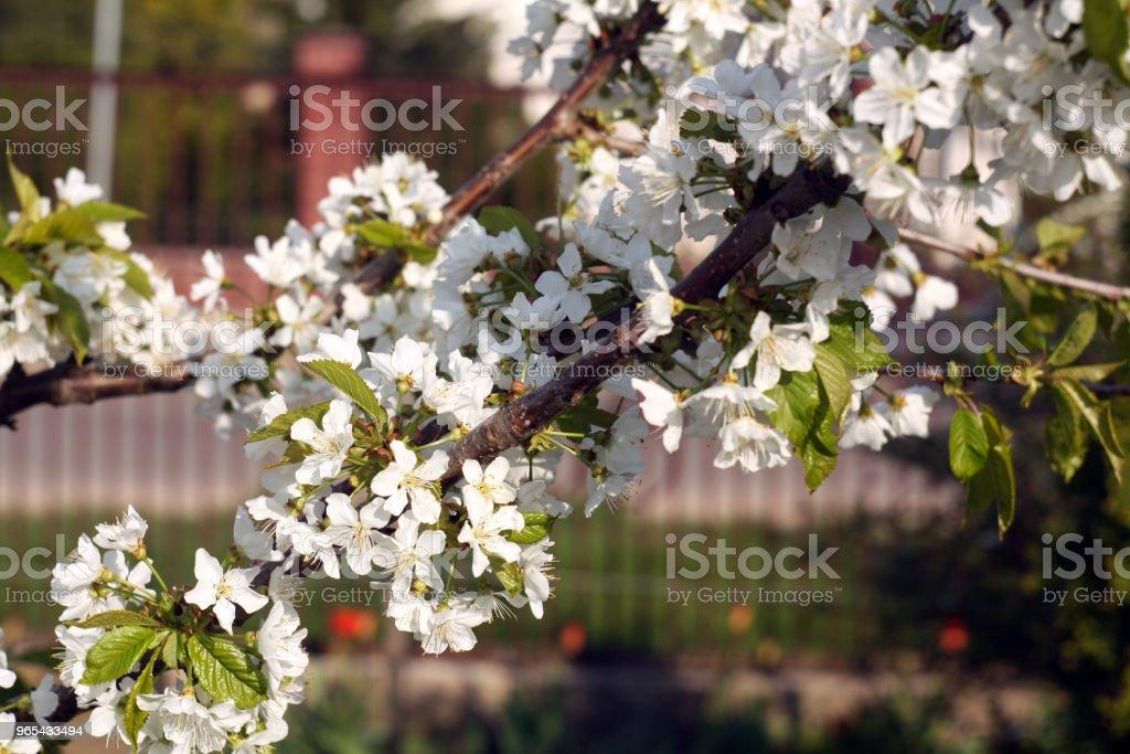 Bokeh와 꽃에 벚꽃 나무입니다. - 로열티 프리 0명 스톡 사진