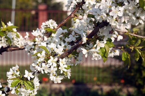 Bokeh와 꽃에 벚꽃 나무입니다 0명에 대한 스톡 사진 및 기타 이미지