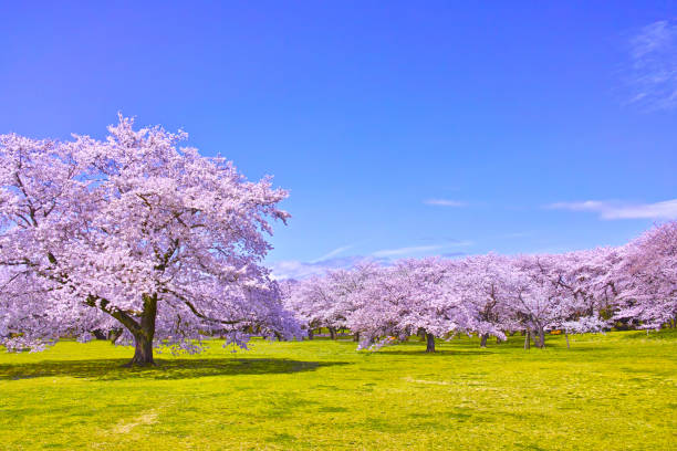 cherry tree in full bloom - blossom stock pictures, royalty-free photos & images