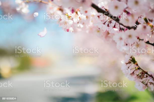 Cherry tree in park picture id891656804?b=1&k=6&m=891656804&s=612x612&h=v xbcdecz9 ypisajp5wbl4 umfa ampysosd8p5rgu=