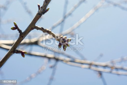 First leaves of a cherry tree in Spring.