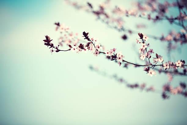 Cherry tree in spring picture id505592308?b=1&k=6&m=505592308&s=612x612&w=0&h=uv3myjkk3acfwkd siv0zxt4w9lutto7inl8d1xqrys=
