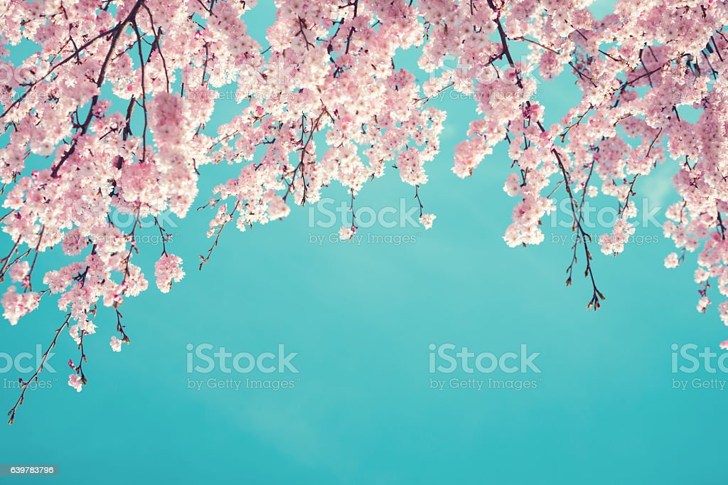 Cherry Tree In Spring royalty-free stock photo