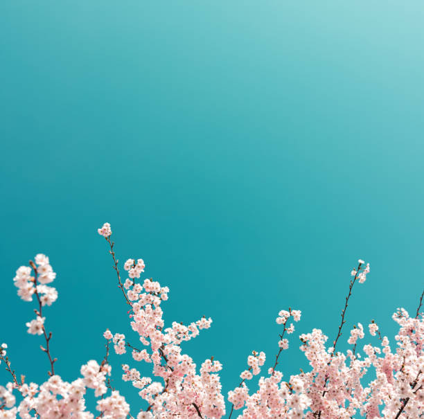 cherry tree in spring - pastel colored stock pictures, royalty-free photos & images