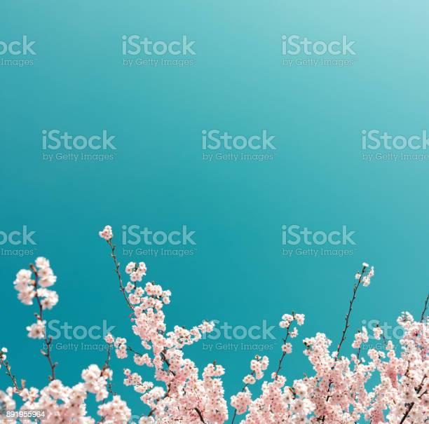 Kersenboom In Het Voorjaar Stockfoto en meer beelden van Achtergrond - Thema