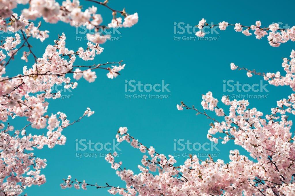 Cerisier au printemps - Photo