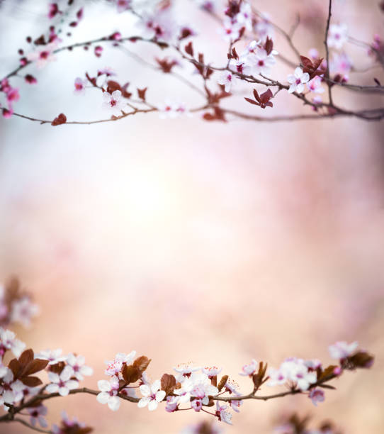cherry tree in spring - sakura background stock photos and pictures