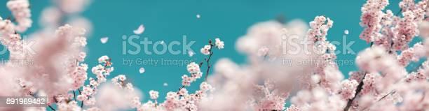 Cherry tree in spring picture id891969482?b=1&k=6&m=891969482&s=612x612&h=bl6yz38ulgalmdvzuuq6goklfflhqfwj8qcv9doqukm=