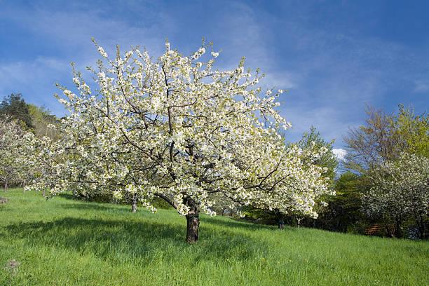 cherry tree in spring stock photo