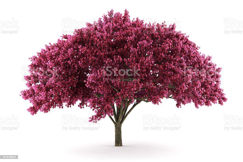 cherry tree isolated on white background stock photo