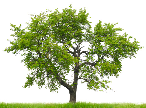 Cherry tree (Prunus avium) on grass field isolated on_white.