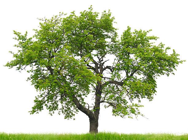 Cherry tree (Prunus avium) on grass field isolated on_white. stock photo