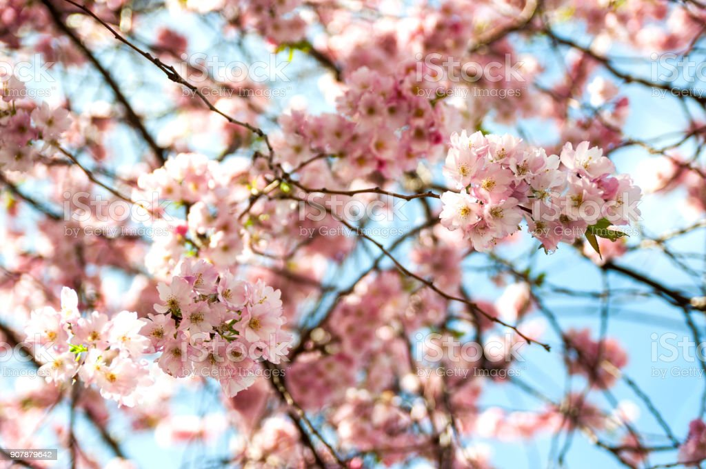 Cherry tree on sky background stock photo