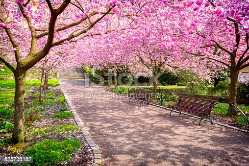 Blooming Cherry tree flowers in beautiful park area