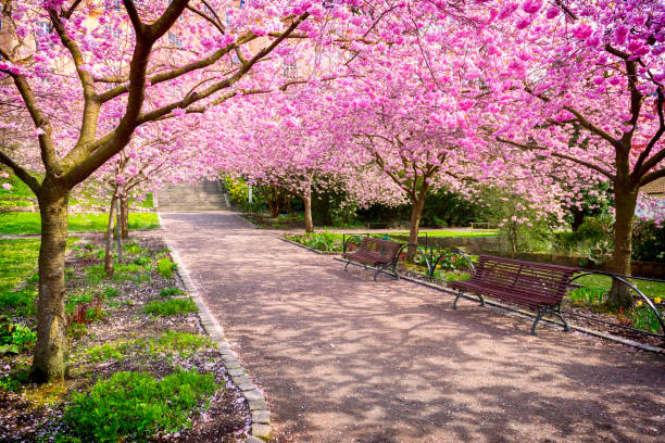 cherry tree park in full bloom - blossom stock pictures, royalty-free photos & images