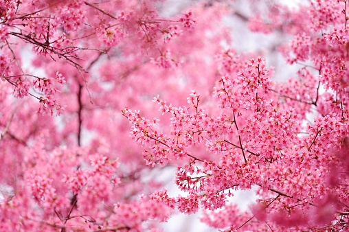 Blooming with pink flowers cherry trees