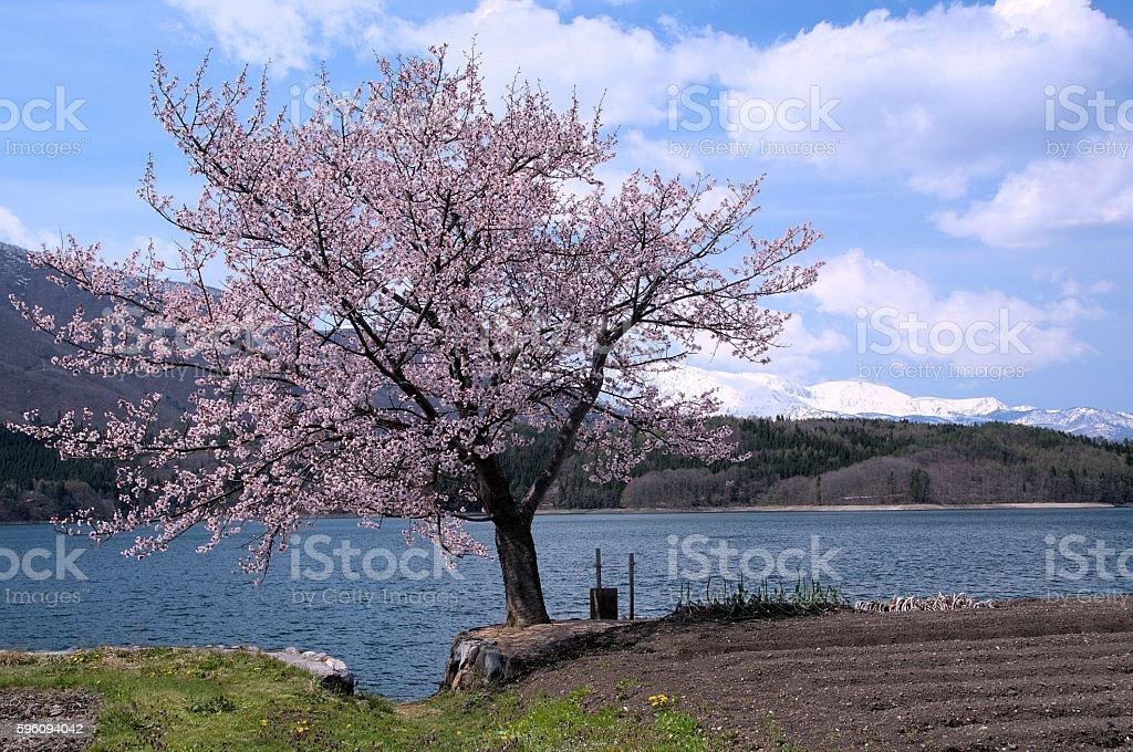 Kirsche tree  Lizenzfreies stock-foto