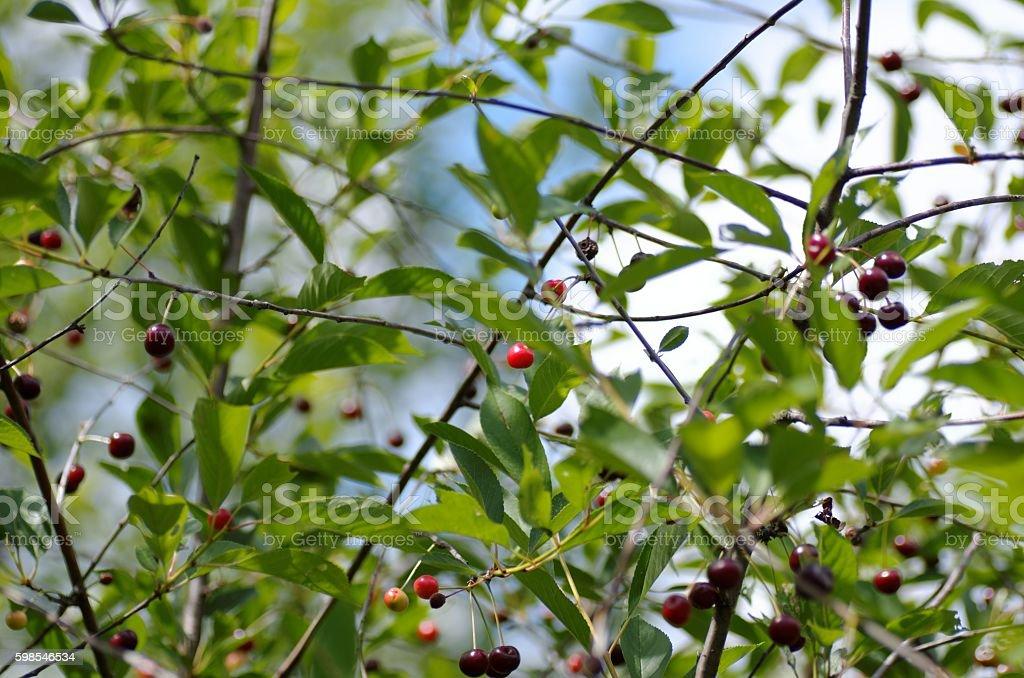 Cerisier tree  photo libre de droits