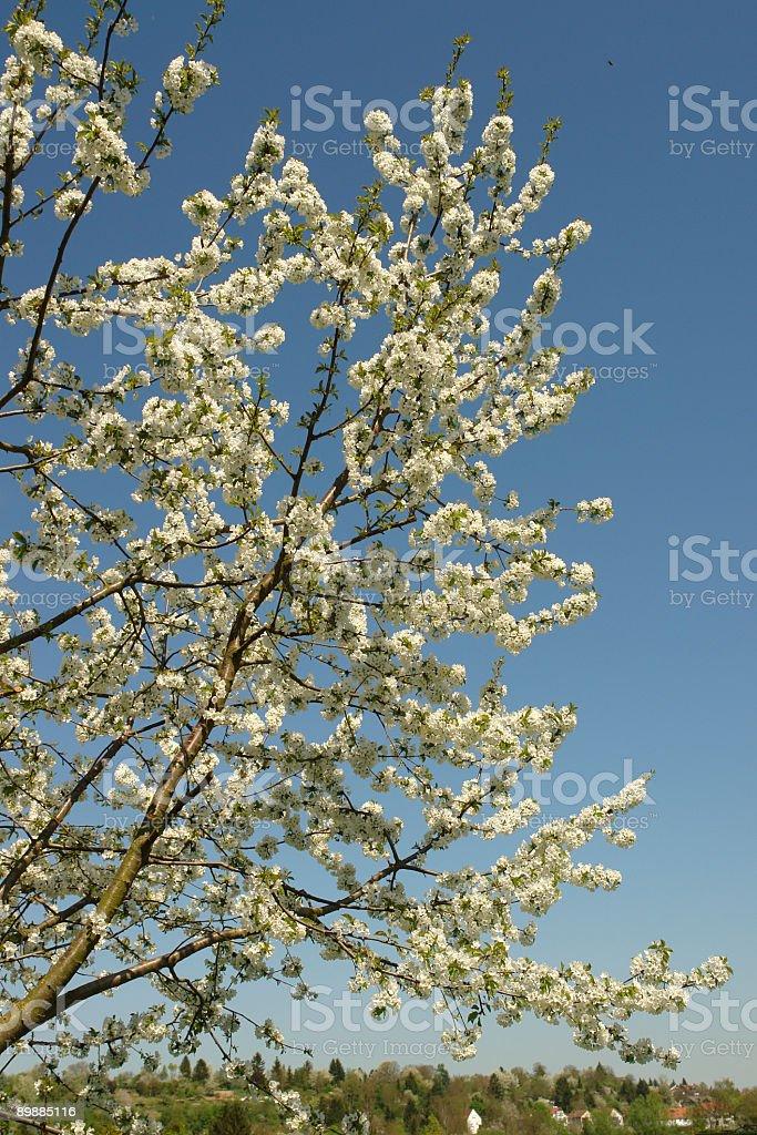Вишня-дерево Стоковые фото Стоковая фотография