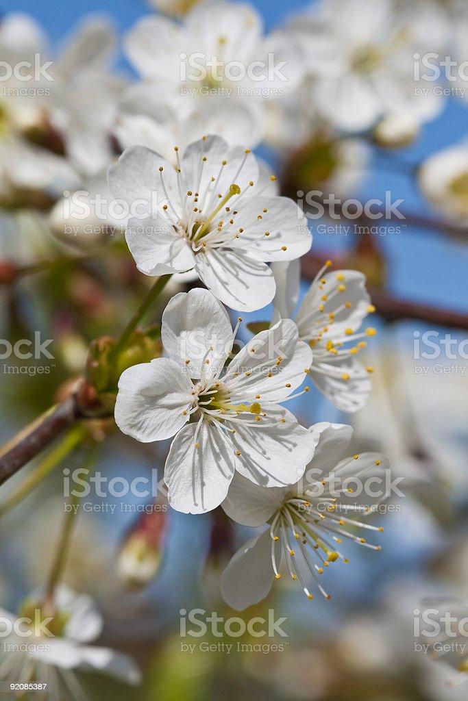 Cherry tree royalty-free stock photo