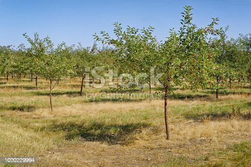 Rows of cherry trees in an fruit orchard with bunches of ripe cherries ready to pick.