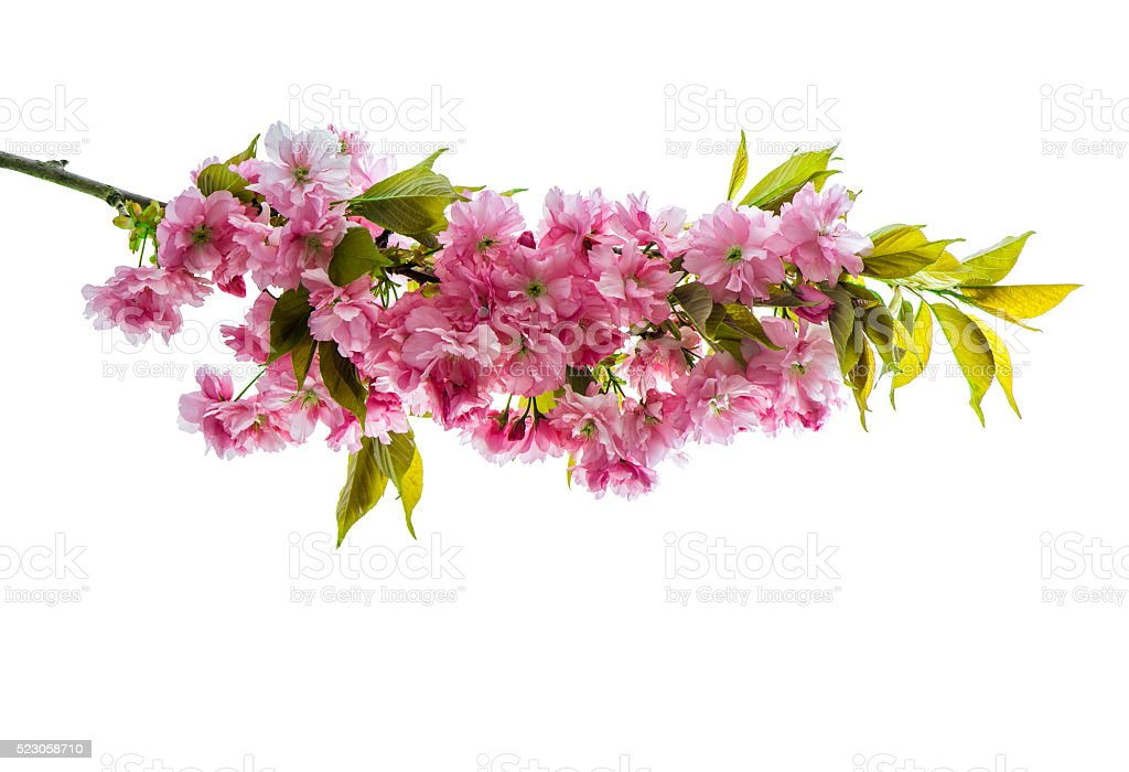 Cherry tree twig fresh spring flowers green leaves stock photo fresh spring flowers green leaves royalty free stock photo mightylinksfo