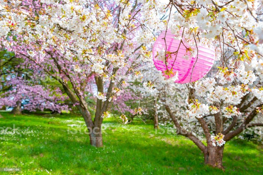 Cherry tree with pink paper lantern stock photo