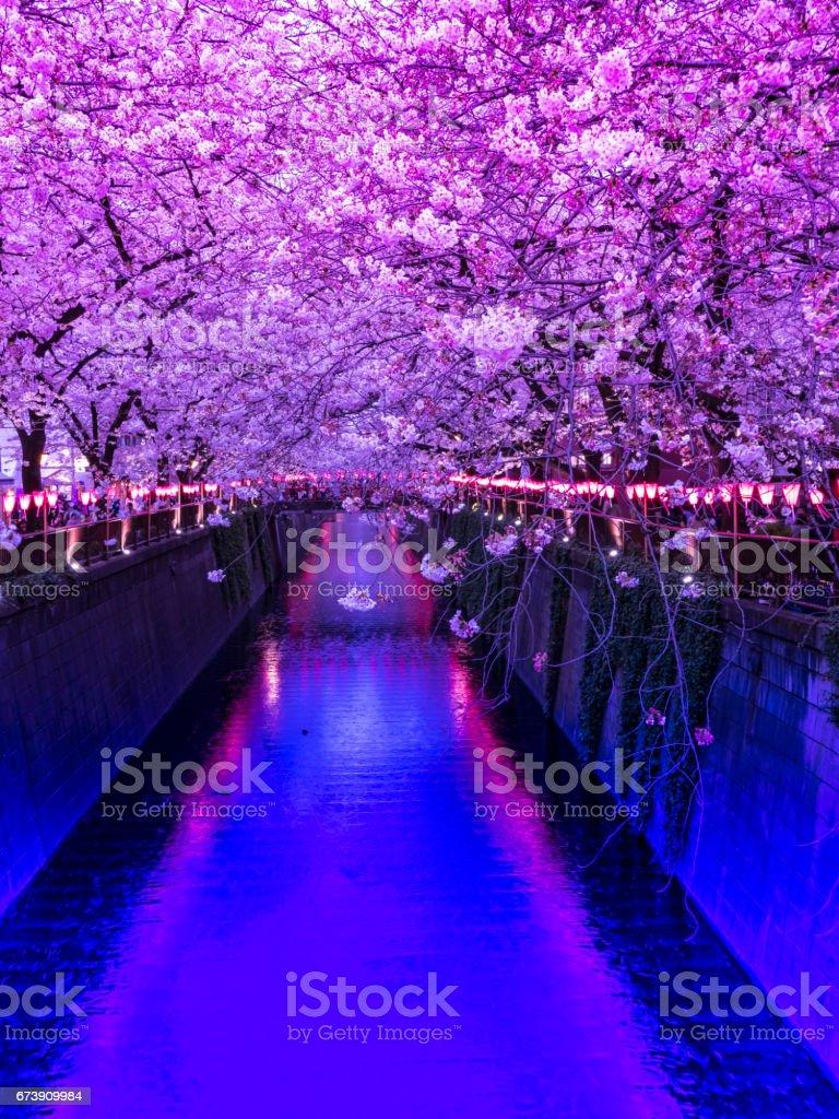 Cherry trees along Meguro River stock photo