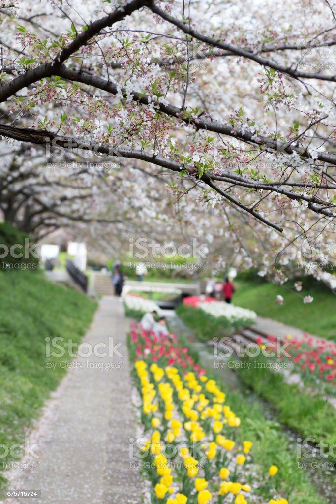 桜並木とチューリップ 免版稅 stock photo