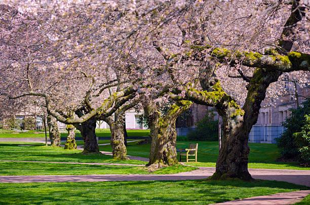 Cherry trees at University of Washington in Seattle stock photo
