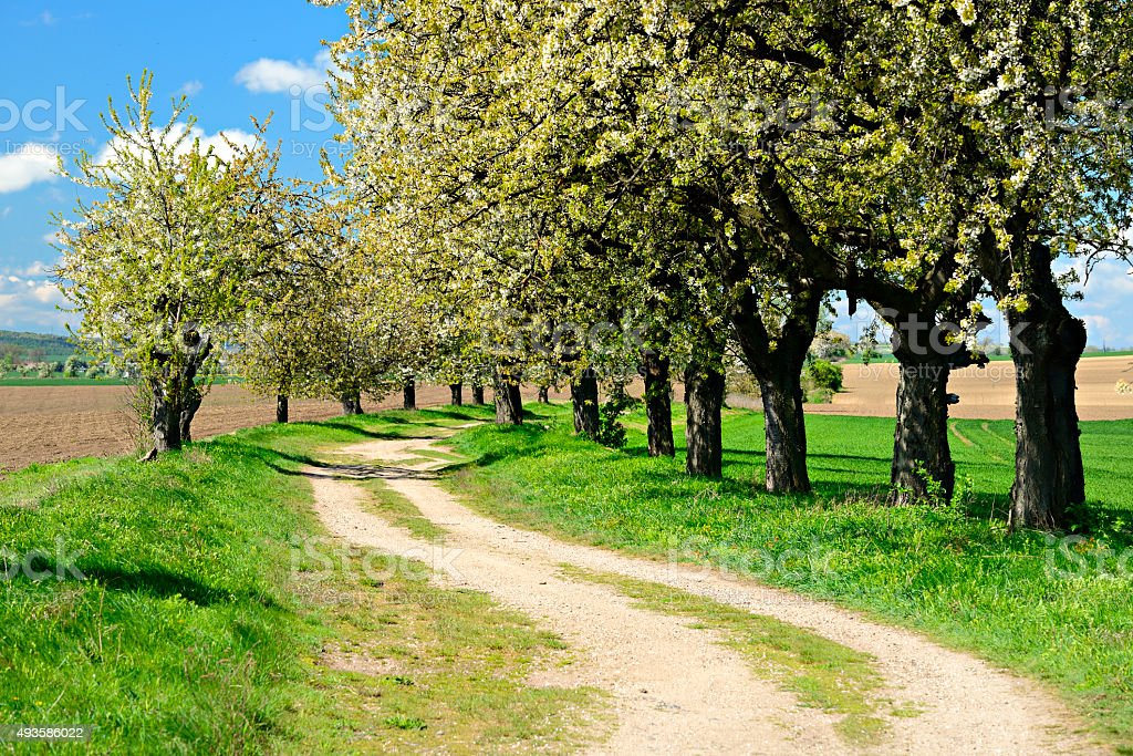 Cherry Trees blooming along Dirt Road in Spring stock photo