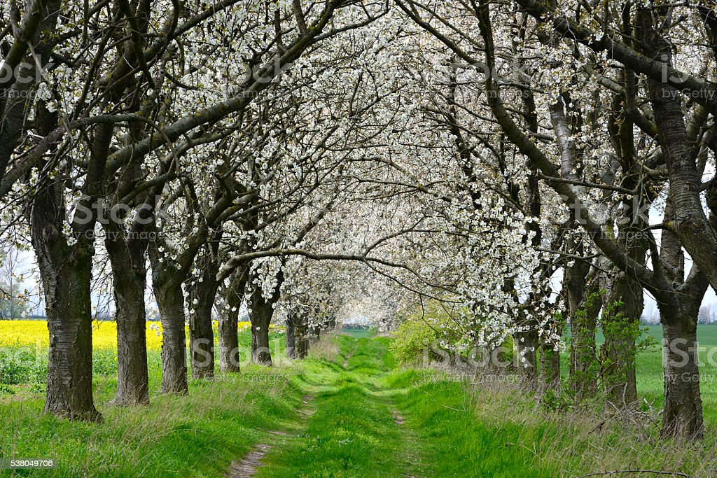 Cherry Trees blooming along Farm Track in Spring stock photo