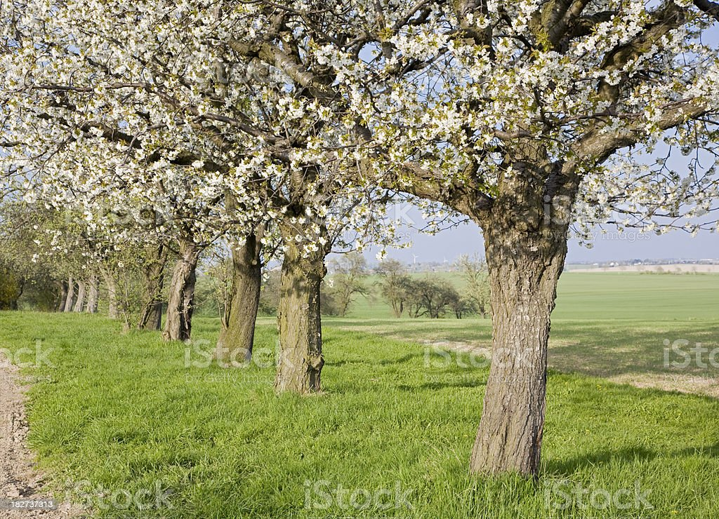 Cherry trees blooming royalty-free stock photo