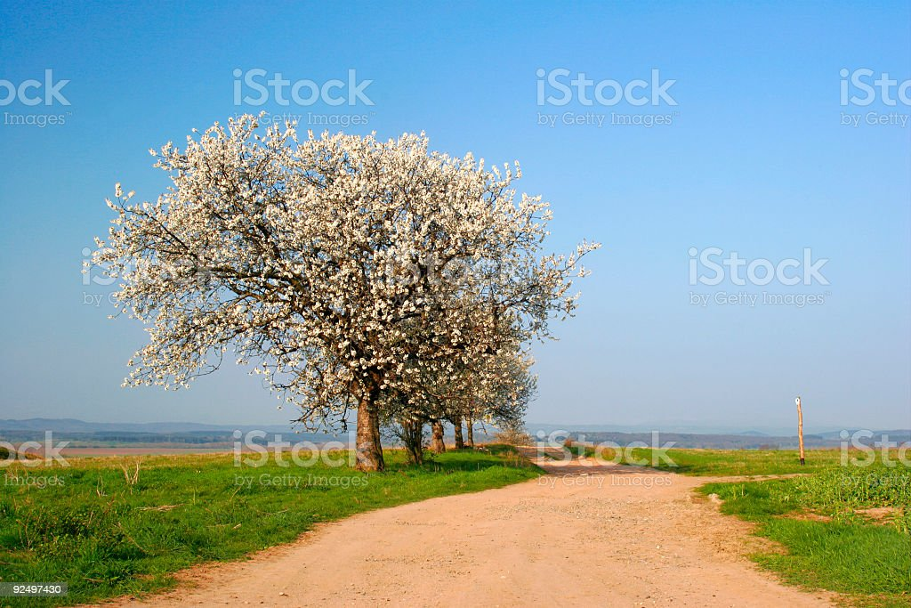 Cherry Trees Blossoming royalty-free stock photo