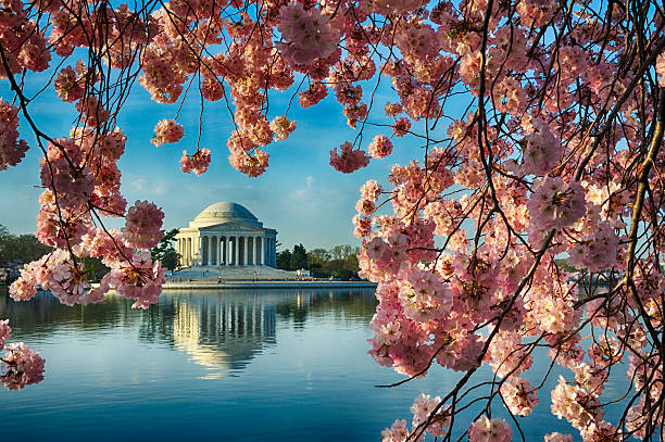 Cherry Trees Full Bloom Framing Jefferson Memorial stock photo