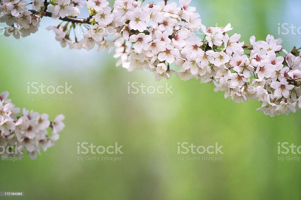 Cherry trees in full blossom royalty-free stock photo