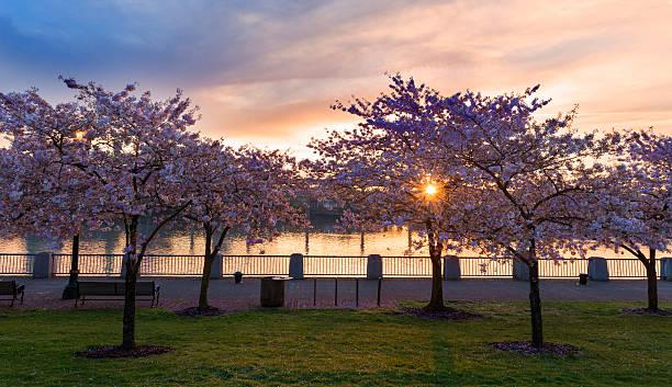 Cherry Trees in Portland stock photo