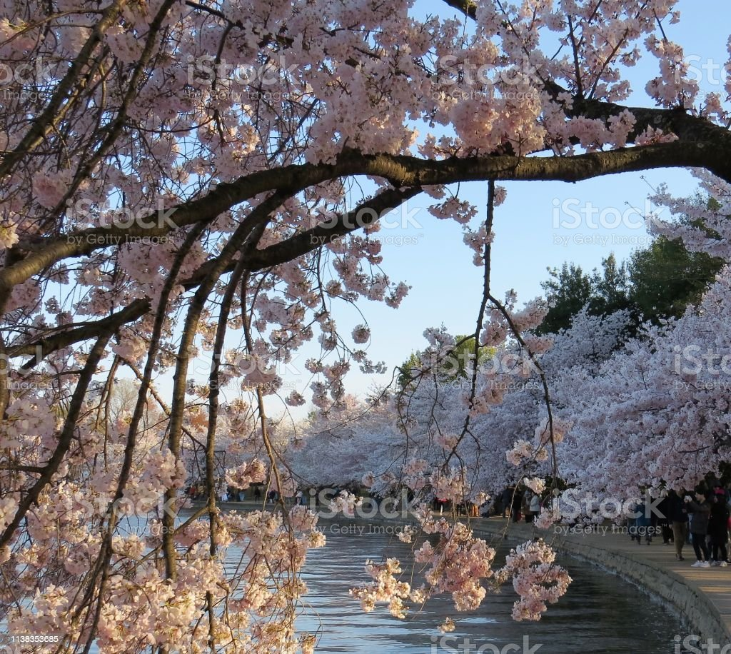 Cherry Trees In Washington Dc During The Cherry Blossom Festival