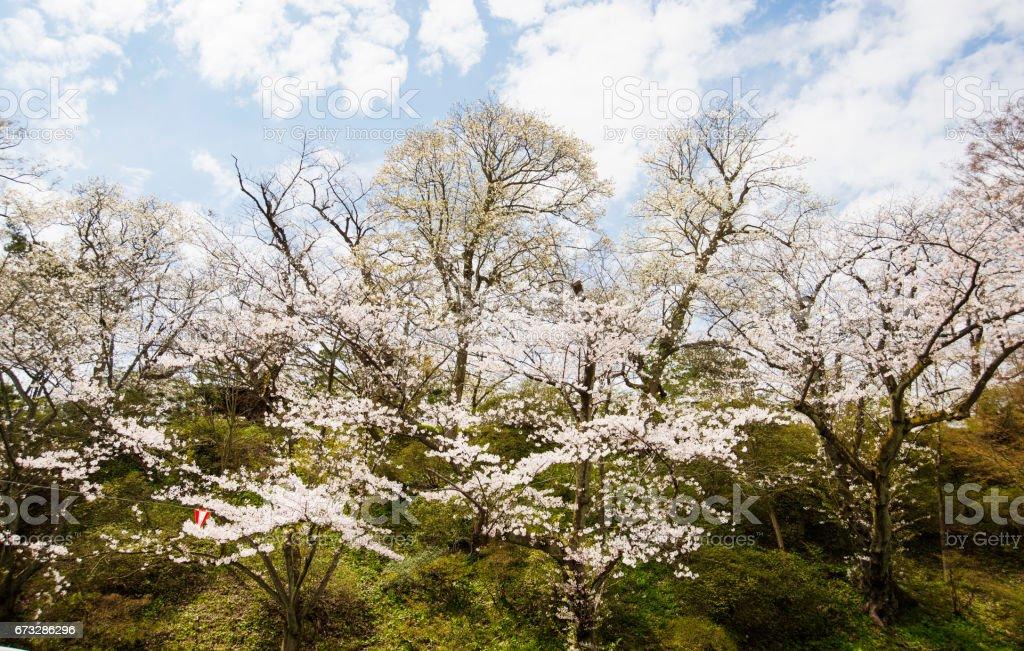 Kirschbäume auf Berg – Foto