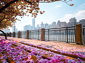 Cherry trees on Roosevelt Island, New York City in spring