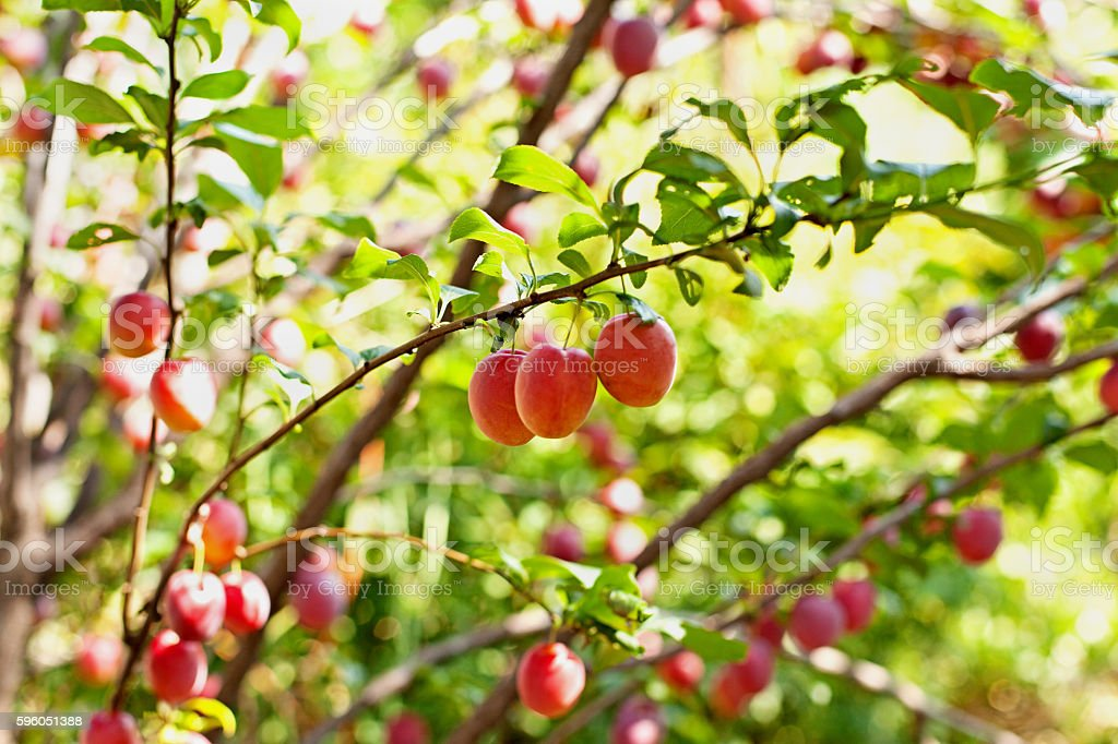 Cherry-plums on the branches royalty-free stock photo