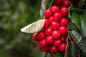 Cherry's ripening on tree, summer produce
