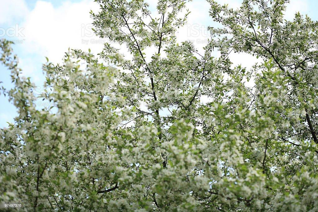 cherry-tree flower royalty-free stock photo
