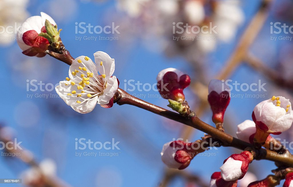 cherry-tree royalty-free stock photo