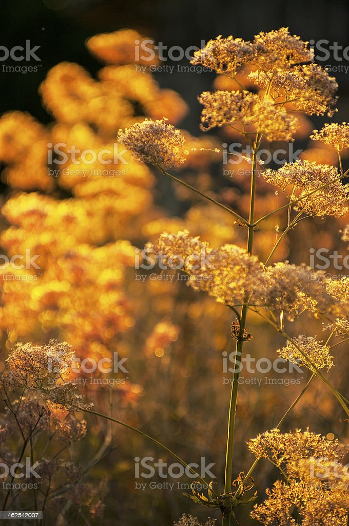 Chervil Anthriscus cerefolium in yellow sunlight royalty-free stock photo