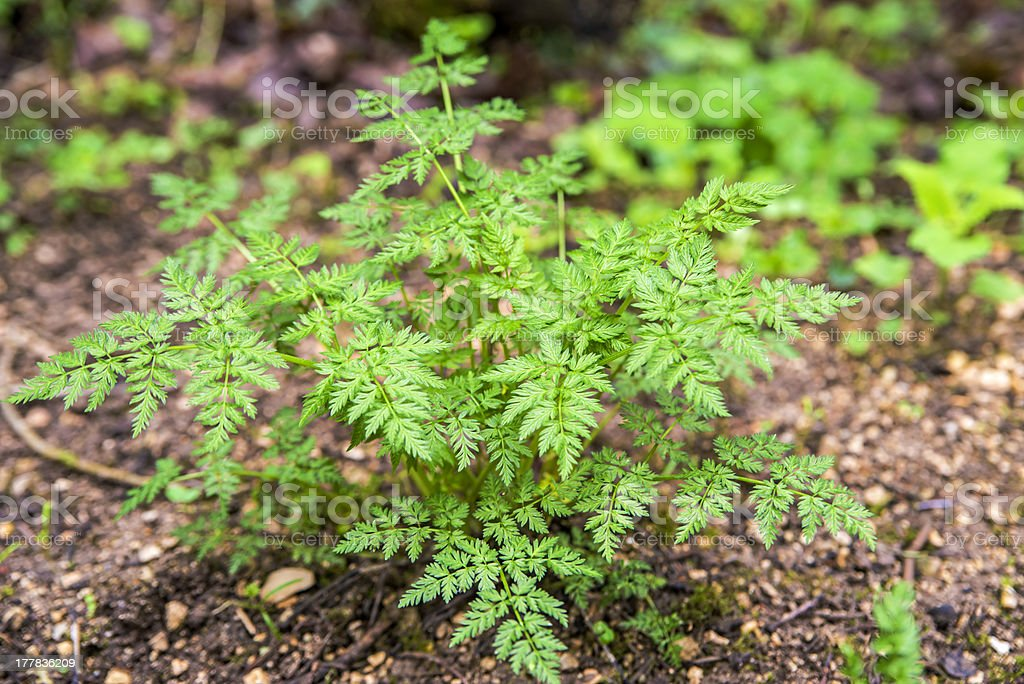 chervil, Anthriscus silvestris stock photo
